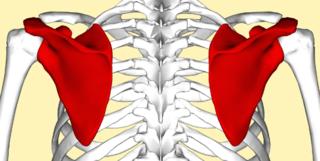 肩甲骨を動かすだけの肩甲骨はがしの効果が凄すぎる!とにかく気持ちがいいので試してみて!気がついたら肩こりが改善されます!
